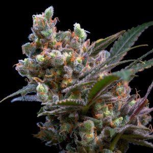 Semi Cannabis Femminizzati Genehtik